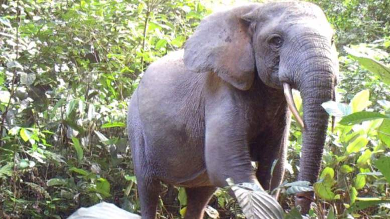 Les camerounais accusés du braconnage au Gabon