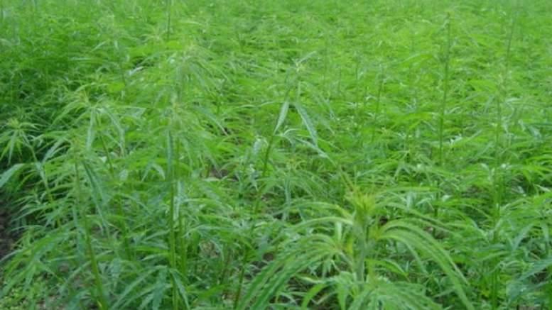 Cameroun : Une plantation de cannabis découverte à Baletsie