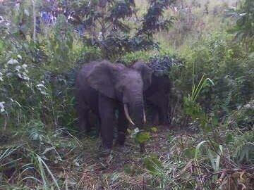 Malemba Nkulu : plusieurs hectares de culture de maïs détruits par des éléphants