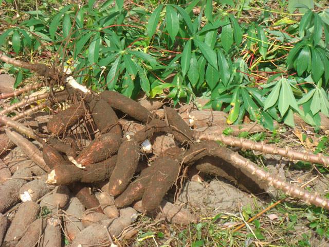 Une maladie virale pourrait toucher 90 % à 100 % des récoltes de manioc en Afrique