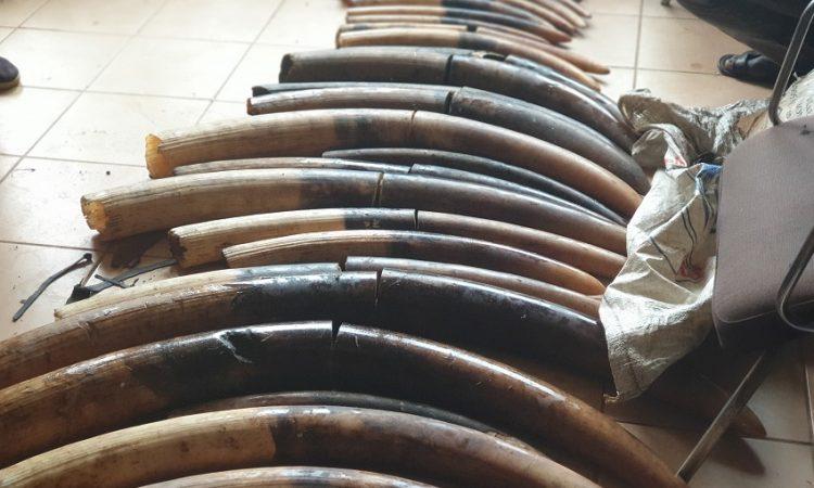 Gabon : Cinq ans de prison pour quatre trafiquants d'ivoire