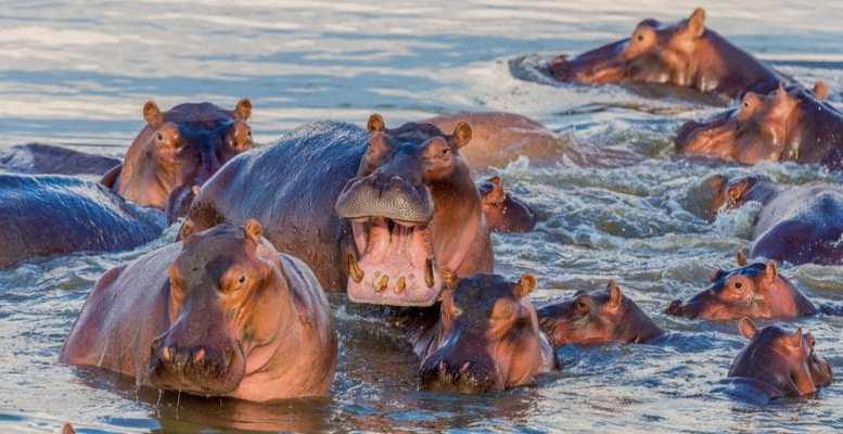 Cameroun : Trois personnes tuées par des hippopotames