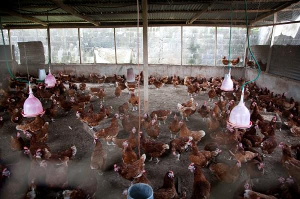 Grippe aviaire : Le gouvernement suspend l'importation de volaille vivante et des œufs